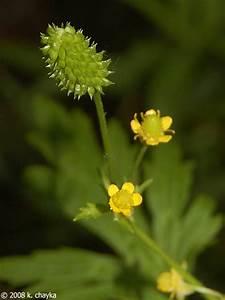Ranunculus, Pensylvanicus, Pennsylvania, Buttercup