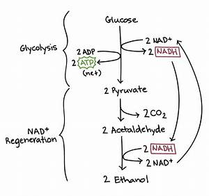 Fermentation  Lactic Acid  Anaerobic Pathways