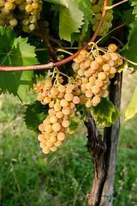 Wann Wein Pflanzen : pflanzzeit der weinrebe wann gelingt der anbau am besten ~ Orissabook.com Haus und Dekorationen