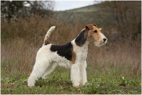 wire fox terrier shedding wire fox terrier puppies breeders facts pictures