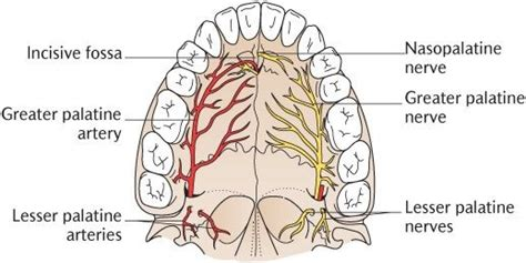 Diagram Of Right Rear Molar by Is A Dentist Supposed To Inject You In The Soft Palate For