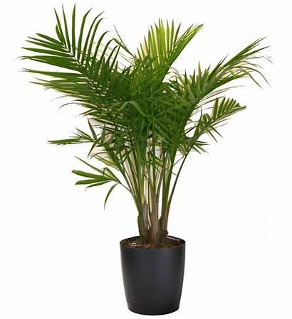 Palm Plant Majesty Tall Popular Houseplants Plants
