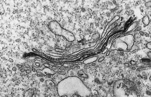 Golgi Apparatus Microscope | www.pixshark.com - Images ...