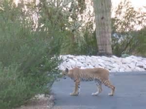 Arizona Bobcat Hunting