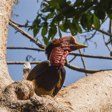 helmeted hornbill fauna flora international