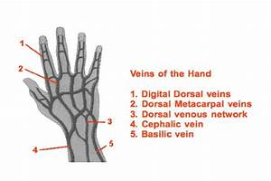 Veins Of The Hand  Right Dorsal Hand   Webliography 9