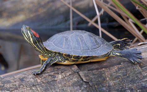 ear slider turtles red eared slider