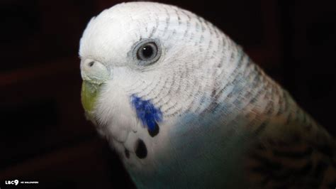 Budgie Wallpapers Wallpaper Cave
