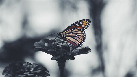 Butterfly Home Screen Wallpaper Images by Butterfly 5k Black And White Desktop Background Wallpaper
