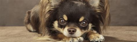 long haired dogs top breeds  grooming  petfinder