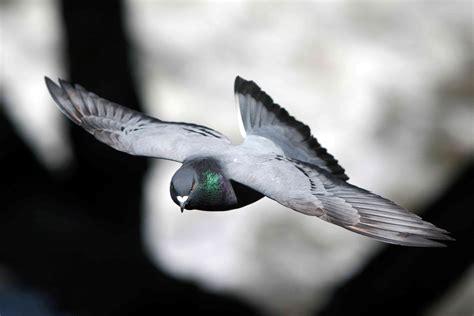 pigeons hd wallpapers