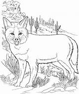 Coloring Fox Grey Coyote Fennec Foxes Drawing Printable Template Supercoloring Getdrawings sketch template