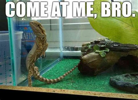 DAR – theCHIVE   Bearded dragon funny, Funny lizards ...