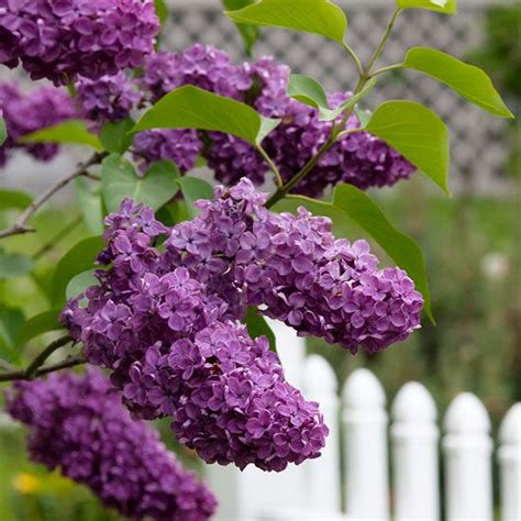 lilacs that bloom all summer lilacs flowering shrubs and shrubs on pinterest
