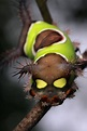 Stinging Caterpillars of the United States: They may look ...