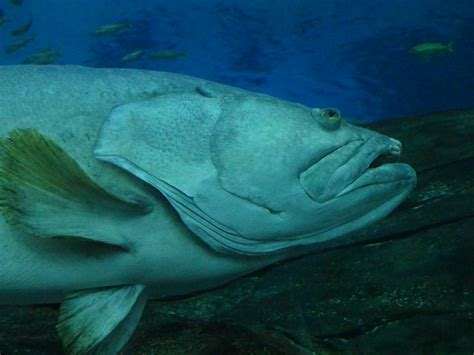 goliath grouper illegal harvest been