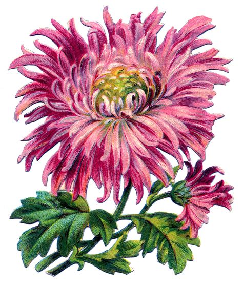 vintage image pink chrysanthemum  graphics fairy