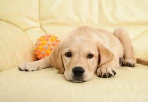 empecher un chien de monter sur le canapé mon chien monte sur le canapé