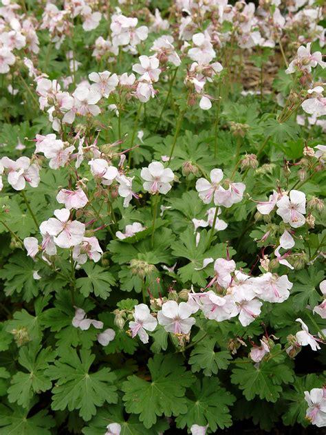 what are hardy perennial plants hardy geranium biokovo garden housecalls