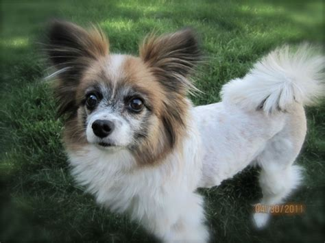 do papillon dogs shed 15 free wallpaper