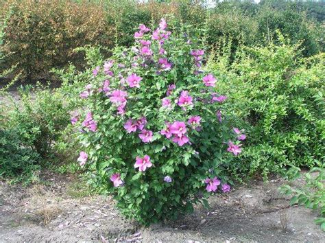 hibiskus im winter hibiskus woodbridge hibiscus woodbridge in unserem shop g 252 nstig bestellen