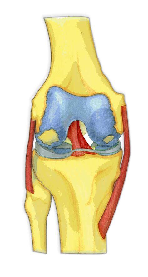 knee anatomy orthopaedic tony gibbon