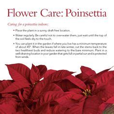 how to care for poinsettia care of poinsettia plants after christmas our plants pinterest plays plants and after
