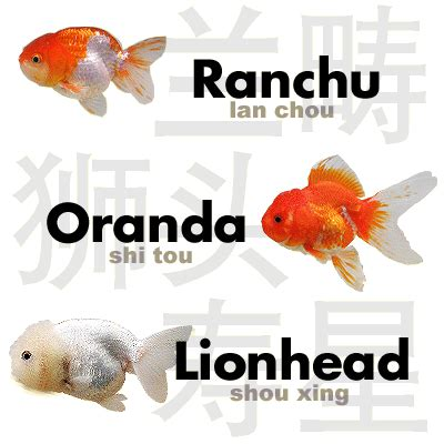 Cute Goldfish Names for Fish
