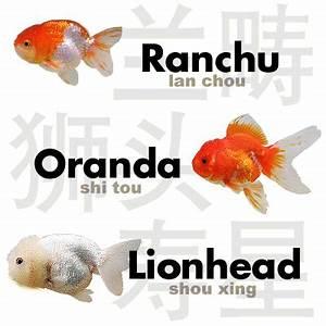 Lionhead Versus Lion Head - RafflesGold Forums