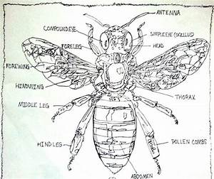 Labeled Diagram Of The Honey Bee Drawing By Pamela Starr