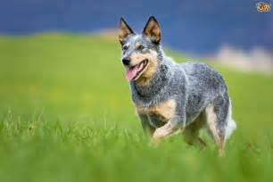 pictures of red heeler dog breed auto design tech