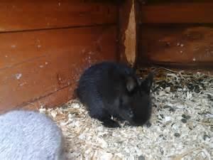 Cute Baby Netherland Dwarf Bunnies