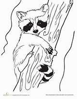 Raccoon Coloring Baby Pages Drawing Raccoons Line Racoon Craft Outline Animals Template Animal Drawings Worksheet Printable Spring Colouring Sheets Education sketch template