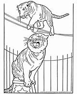 Circus Coloring Pages Animals Animal Tiger Printable Tigers Elephant Sheets Lion Honkingdonkey Print Monkey Performing Clown Sheet Tightrope Horse Seal sketch template