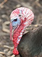 Turkey Snoods - The Infinite Spider