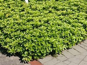 Hang Bepflanzen Bodendecker : dickm nnchen schattengr n pachysandra terminalis ~ Lizthompson.info Haus und Dekorationen