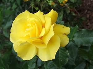 Gelb Rote Rosen Bedeutung : gelbe rose putzlowitscher zeitung ~ Whattoseeinmadrid.com Haus und Dekorationen