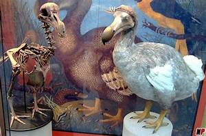 A Dodo bird skeleton was sold for 280.000 pounds to an auction