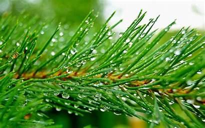 Pine Tree Trees Wallpapertag Vertical