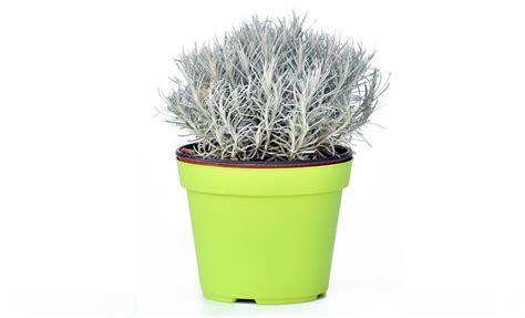 pianta di liquirizia in vaso pianta di elicriso helicrisium tipo pianta della