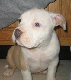 Nose Pits For Sale In Michigan by American Pitbull On Pitbull Terrier