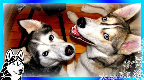 snow dogs   love  huskies promotional