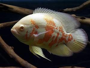 white tigers ;) - Oscar Fish Advice Forum