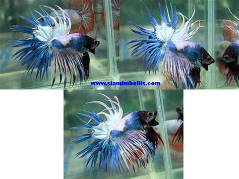 fancy koi fancy crowntail male betta splendens siamese
