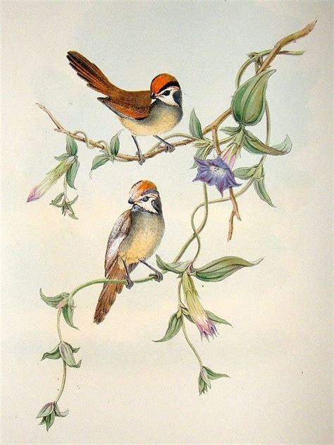 23 Best Images About John Gould The Bird Man On Pinterest