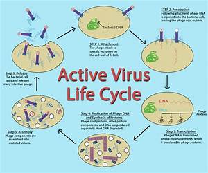 Introduction To Viruses  U2013 General Microbiology