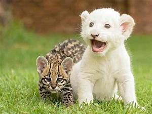 Baby Ocelot and White Lion Cub | Cats | Pinterest