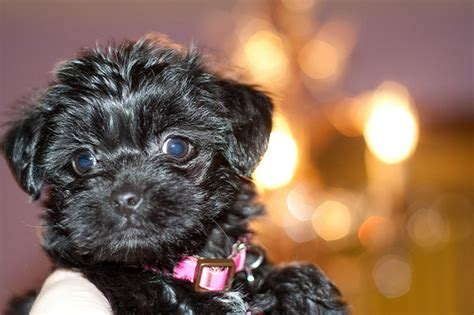 How Much Does A Yorkie Poo Cost Howmuchisit Org