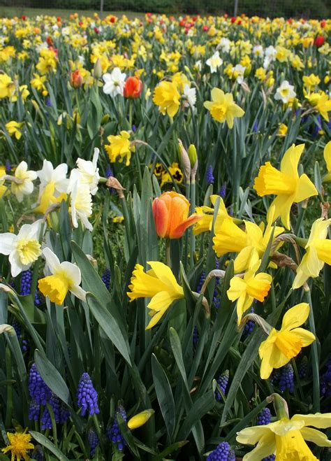 bulb flowers flower bulb labyrinth annual flower resarch at bluegrass lane horticulture section cornell