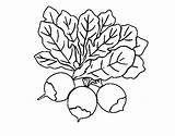 Beet Three Coloring Coloringcrew sketch template